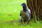 Crow on the grass — Stock Photo