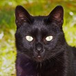 Black cat staring at the watcher — Stock Photo #4381800