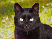 Black cat staring at the watcher — Stock Photo