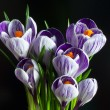 Crocuses on the black background — Stock Photo #4412684