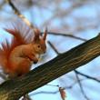 Red Eurasian squirrel — Stock Photo