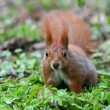 Stock Photo: Red squirrel on the grass
