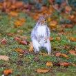Grey squirrel on the grass — Stock Photo