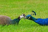 A pair of peacocks — Stock Photo