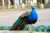 Standing peacock — Stock Photo