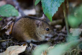 Striped field mouse among sticks — Stock Photo