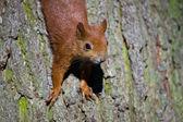 červené euroasijské veverky — Stock fotografie