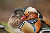 Mandarin ducks — Stock Photo