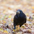 Rook in the park — Stock Photo