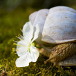 Snail smelling the flower — Stock Photo