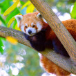 Panda lying on the branch — Stok fotoğraf