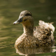 Stock Photo: Duck on water