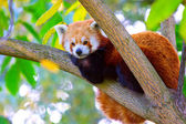 Panda lying on the branch — Stock Photo