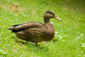 Duck on the grass — Stock Photo