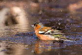 Chaffinch in the water — Stock Photo