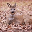 A deer in the Warsaw park - Stock Photo