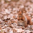 Squirrel on the leaves — Foto Stock