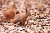 Eekhoorn op de bladeren — Stockfoto