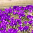 Stock Photo: Bunch of Violet crocuses