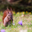 Stock Photo: Squirrel amongst flowers