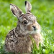 Stock Photo: Llittle hare