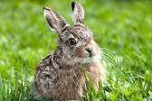 Llittle hare — Stock Photo