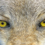 Yellow wolf eyes, angry wild animal nature, danger. — Stock Photo