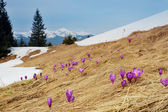 Spring landscape. Flowers and snow in mountains — Stock Photo