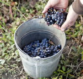 A pail is laden with Moldova S101 grapes ready to make wine in S — Stock Photo