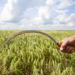 Stock Photo: Hand keep sickle over wheat field.