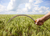 Hand keep sickle over wheat field. — Stock Photo
