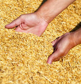 Farmer's hands keeping wheat harvest. — Stock Photo
