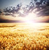 Solnedgång över vete fält. — Stockfoto