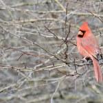 Cardinal — Stock Photo #4205877