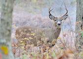 Venado buck — Foto de Stock