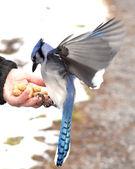 Blue jay en mano — Foto de Stock