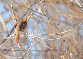 Kvinnliga kardinal — Stockfoto