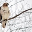 Red-tailed Hawk — Stock Photo #4454908
