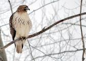 红尾鹰 — 图库照片