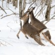Stock Photo: Whitetail Deer Yearling And Doe