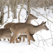 Whitetail Deer Yearlings And Doe — Stok fotoğraf