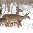 Whitetail Deer Yearlings And Doe — ストック写真