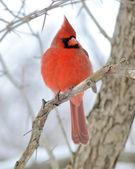 Northern Cardinal — Stock Photo