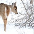 Whitetail Deer Yearling — Stock Photo #4615495