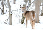 Whitetail deer jährling — Stockfoto