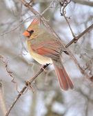 Female Cardinal — Stock Photo
