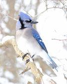 Blue jay — Stock Photo