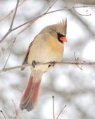 Female Cardinal — Stock fotografie