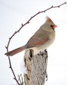 Nördlichen kardinal — Stockfoto