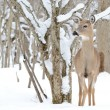 Whitetail Deer Yearling — Stock Photo #5042226